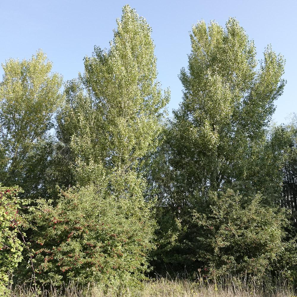 Black poplar 5842