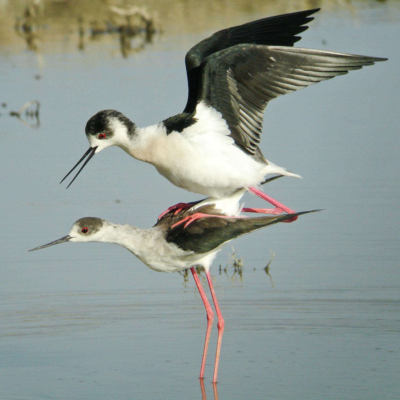 Black winged Stilt legs 03374