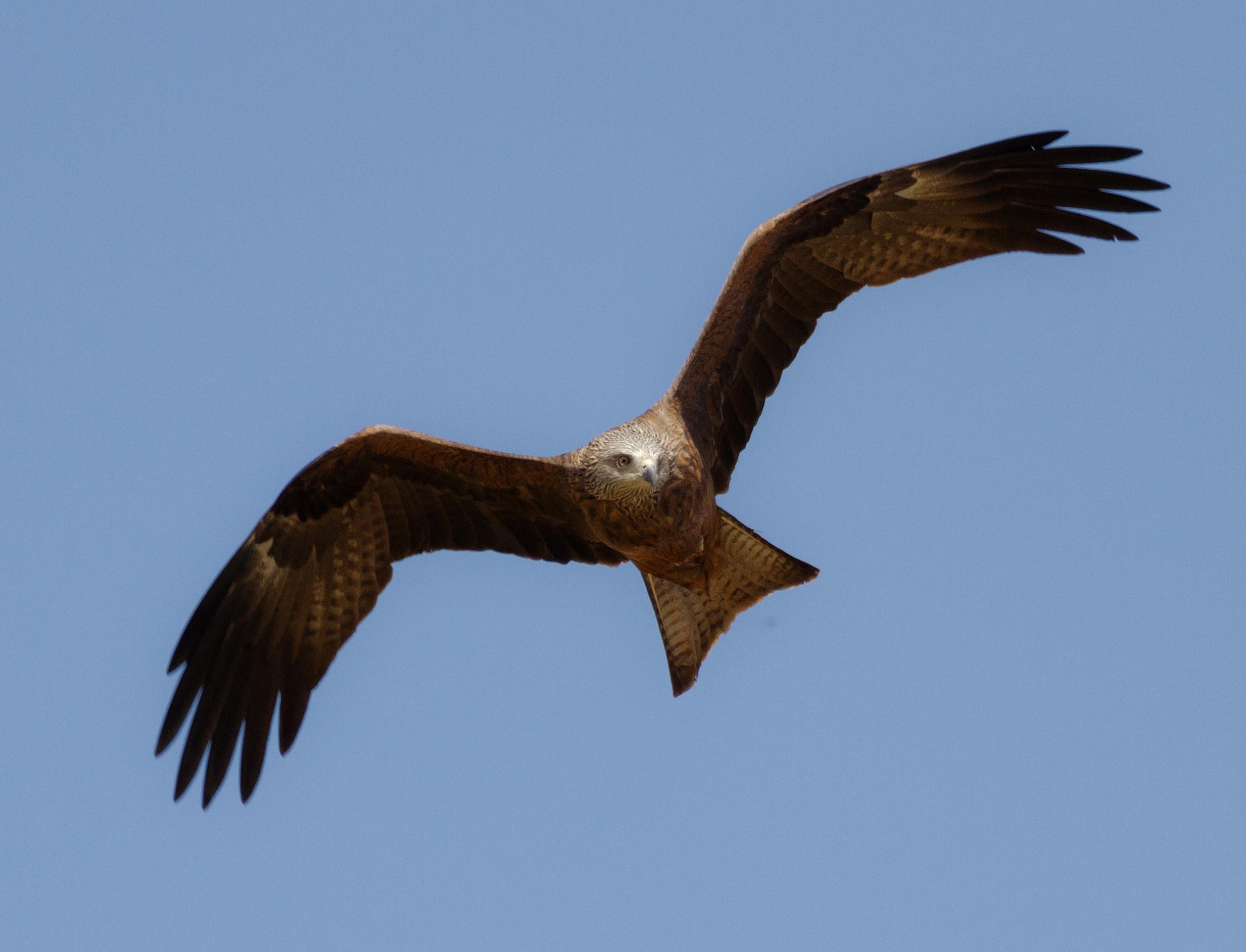 Black kite   milvus migrans   in flight