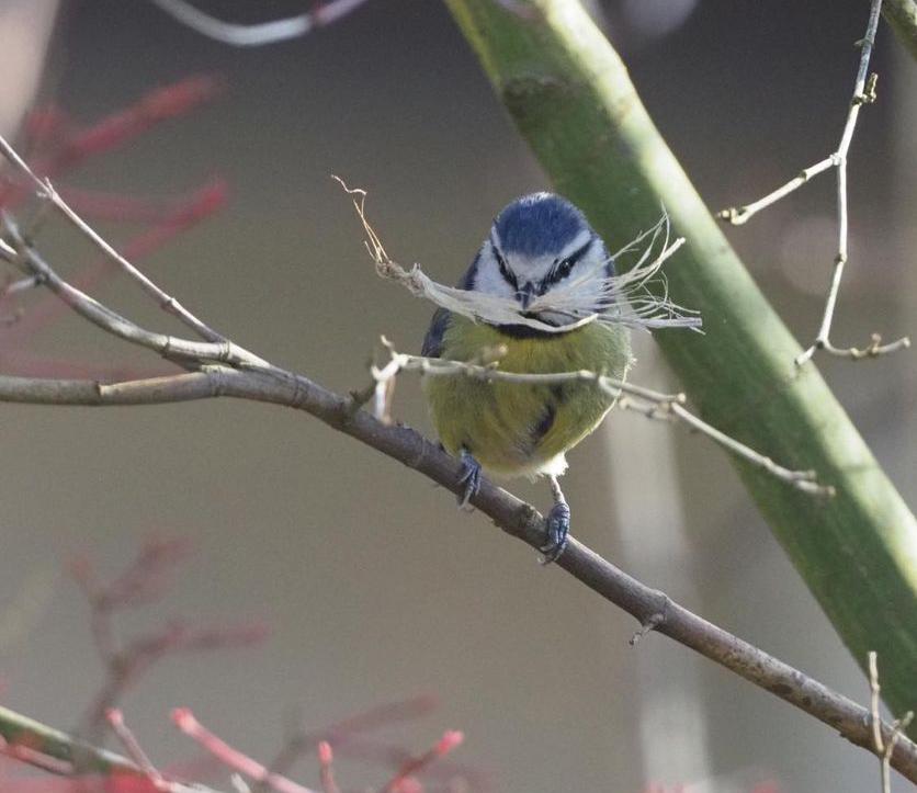 Blue tit nest material Louise Kahan