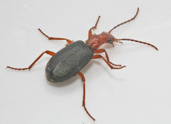bombardier beetle / Barry Yates