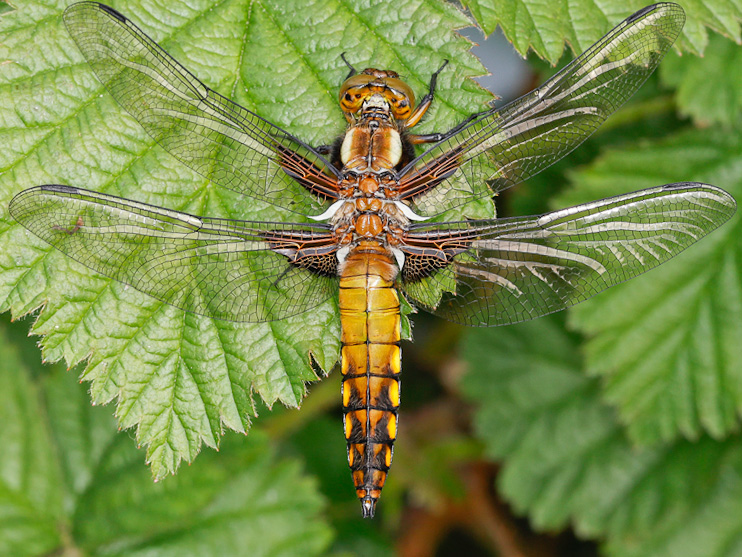 Broad bodied Chaser Alan Martin