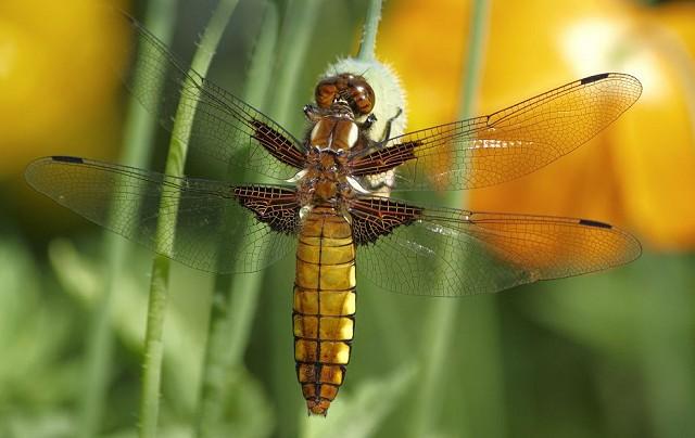 Butterflies & Dragonflies at Woods Mill - Henfield (13/08/19)