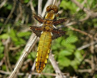 broad-bodied chaser / Paul Gorringe