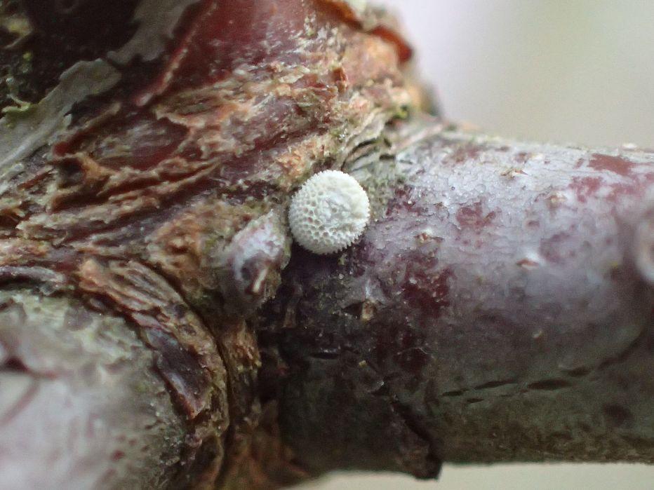 Brown Hairstreak Egg©Glenn NorrisSussex Wildlife Trust