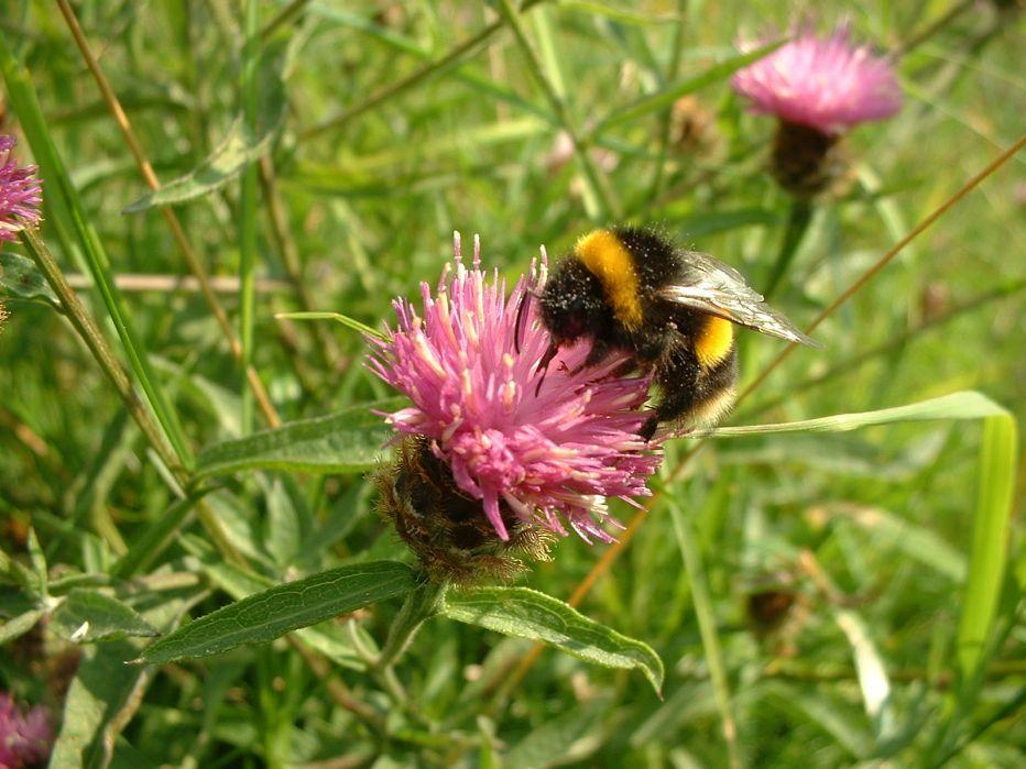 BumblebeeSussex Wildife TrustSussex Wildlife Trust