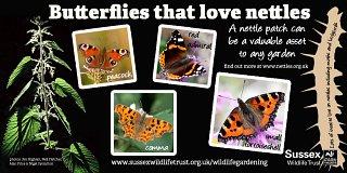 Butterflies nettles