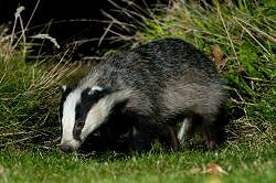 An Evening with Badgers (29/04/2019)