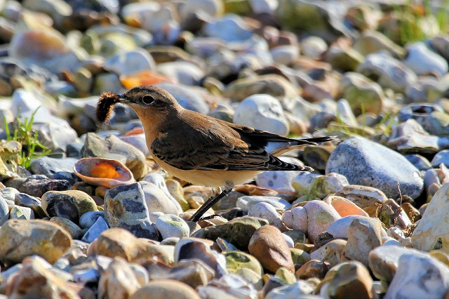Sussex Bird Safari – Thorney Island, nr. Emsworth