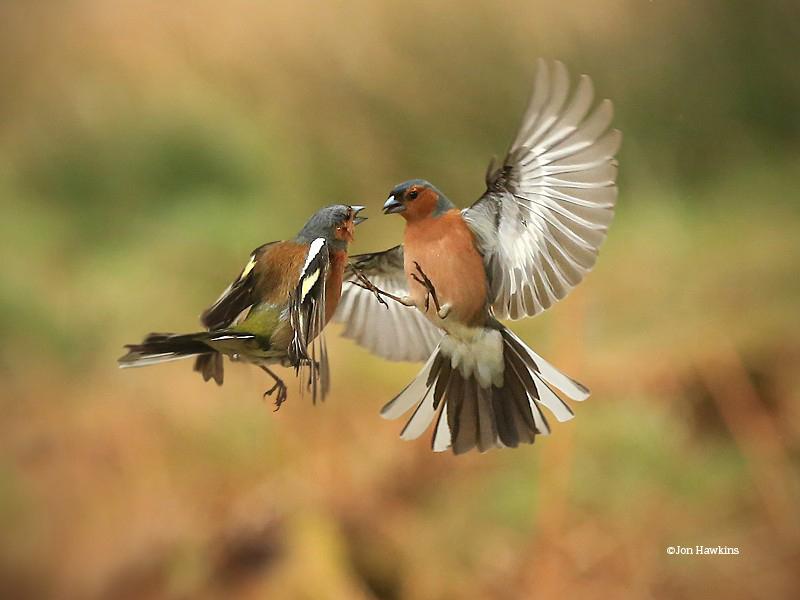 Chaffinches fightingcjon hawkins surrey hills photographysussex wildlife trust w800h600