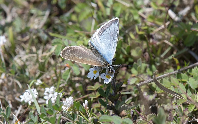 Chalkhill Blue ab. Gynandromorph.