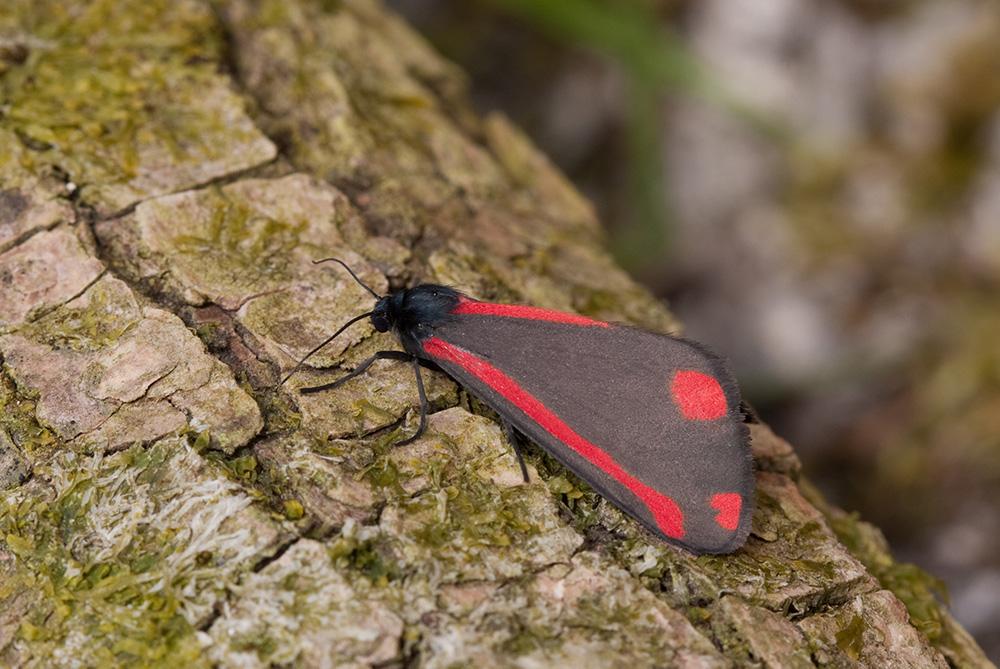 Cinnabar moth (c) Vaughn Matthews