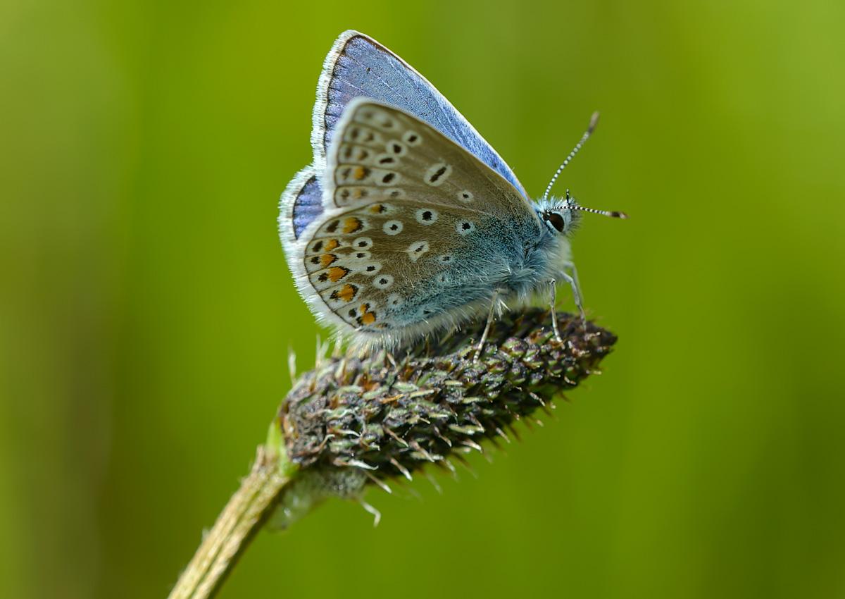 Common blue butterfly (c) John Bridges