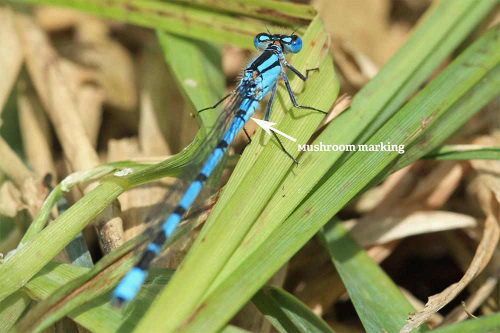 Common blue damselfly (c) Vicky Nall