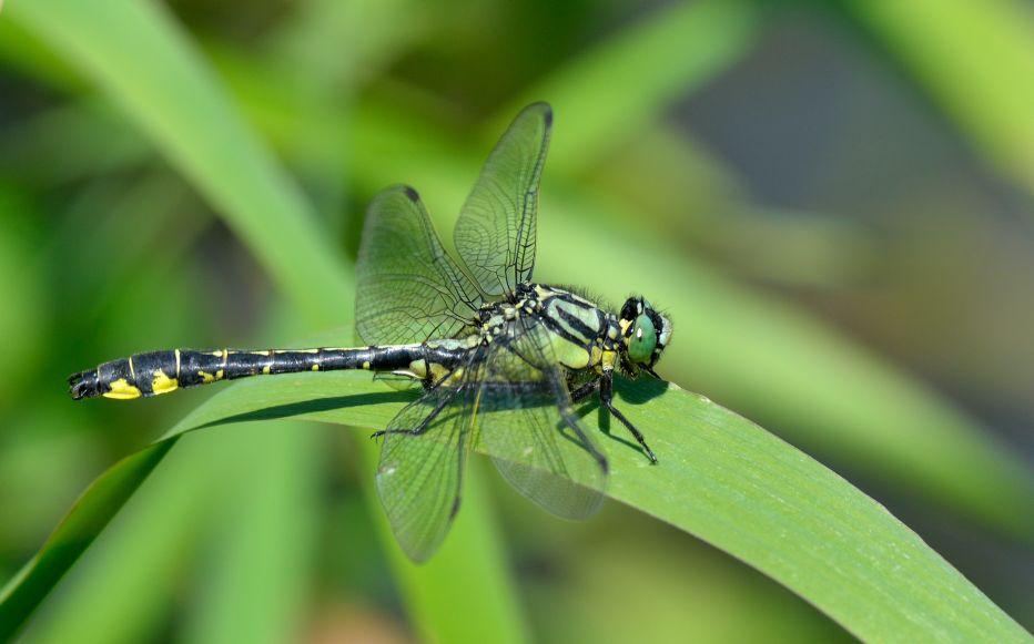 Common clubtail male©Bob EadeSussex Wildlife Trust