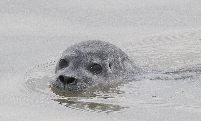 Common Seal 9449