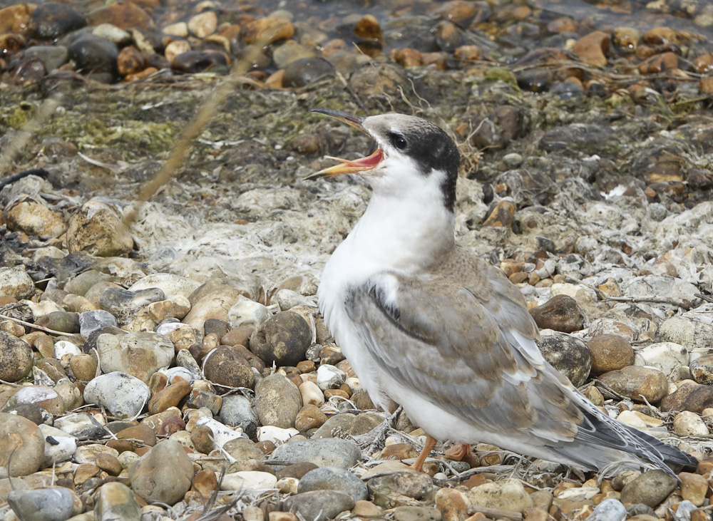 Common tern fledge (2)