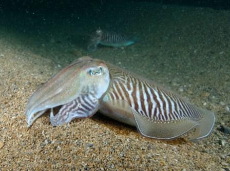 Common cuttlefish Paul Naylor