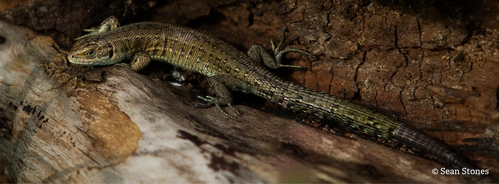 Common lizard seanstones