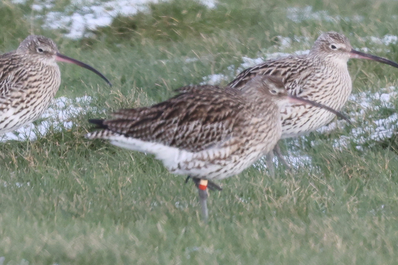 Curlew colour ringed