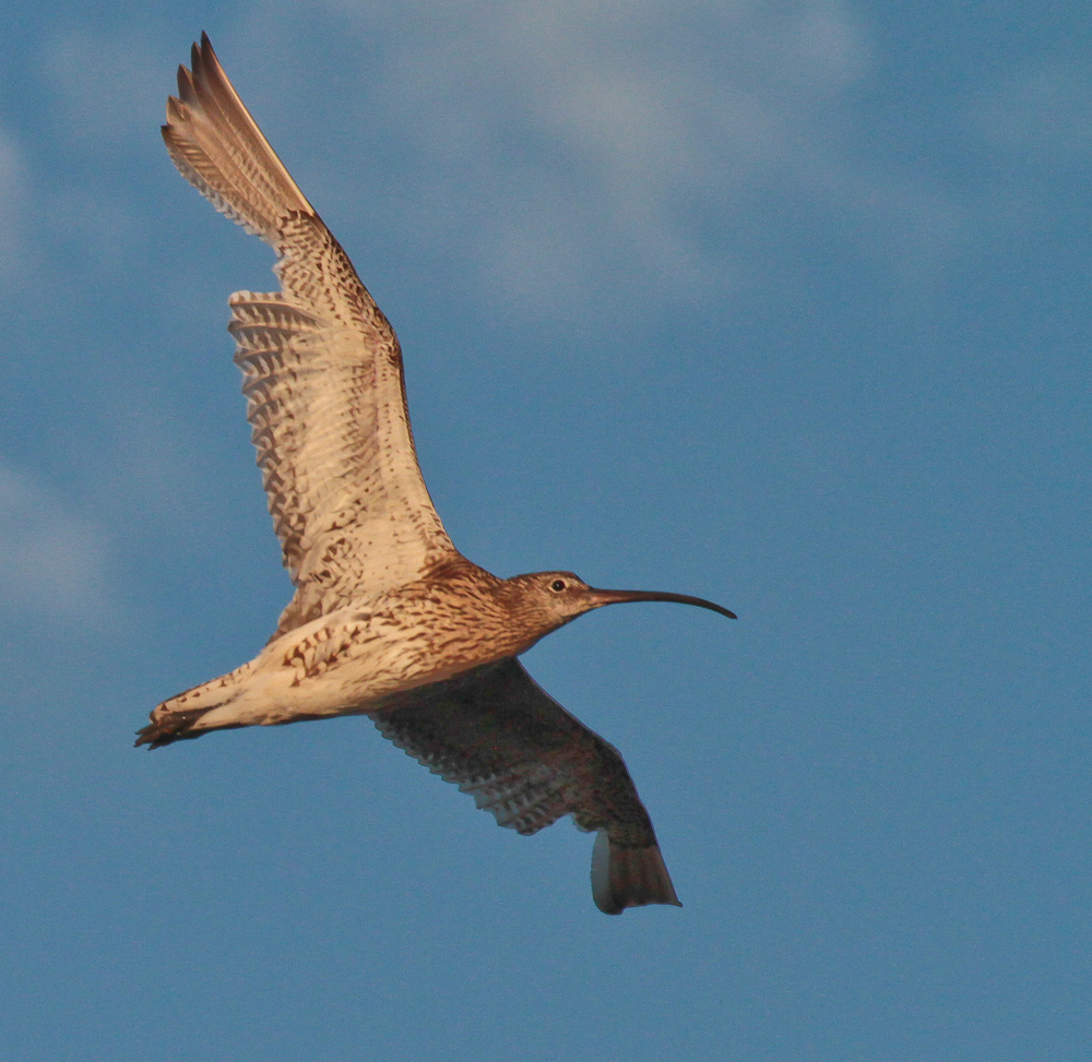 Curlew moult 24 July 8094