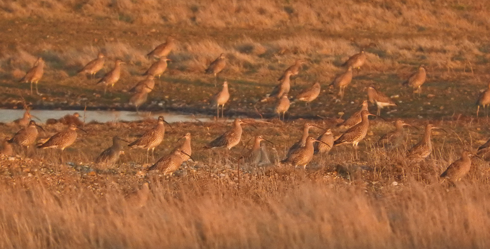 Curlew roost 5