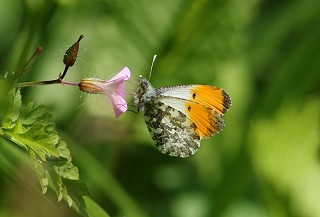 Orange-tip © Huw Morgan
