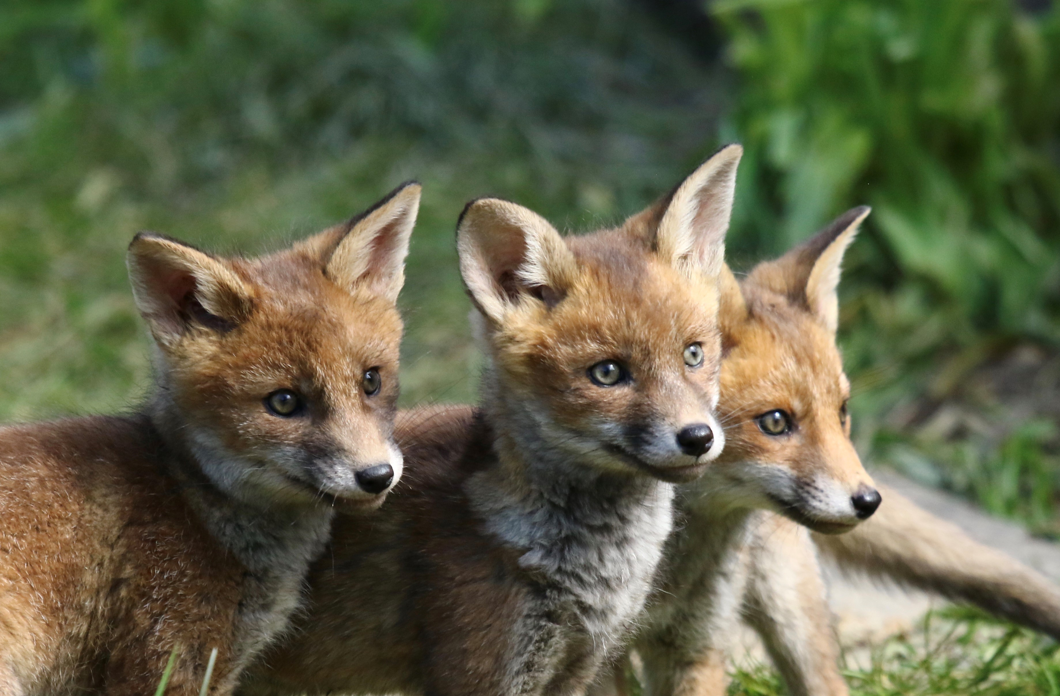 David philips foxes