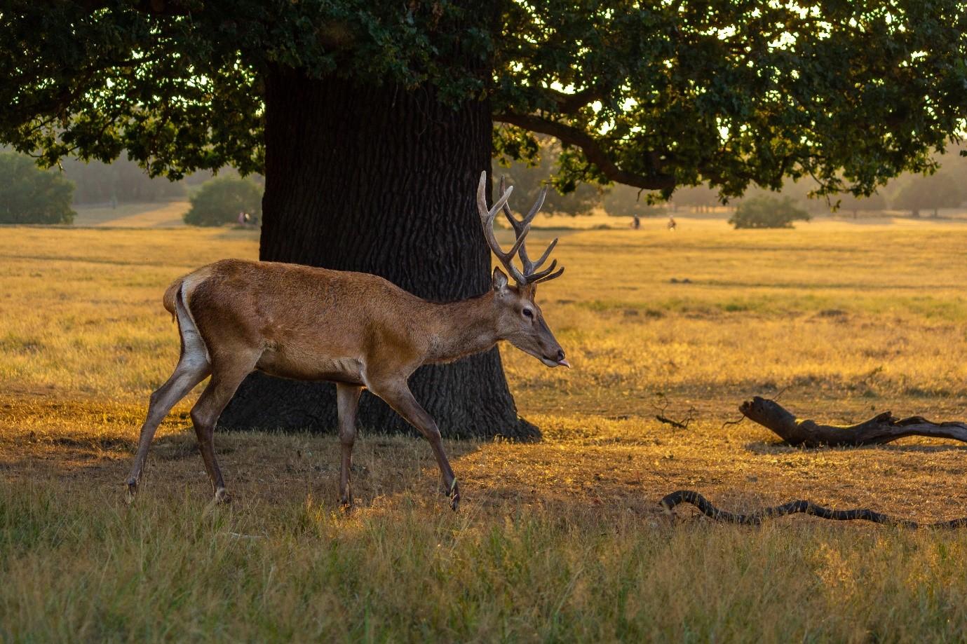 Deer petworth 3