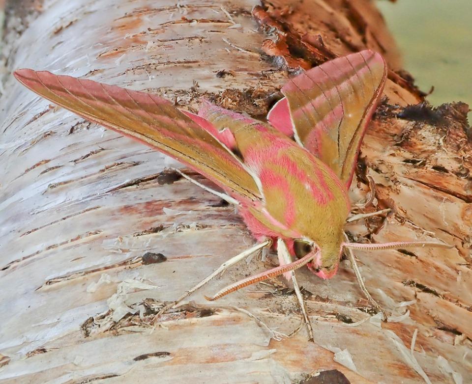 Elephant hawk moth (c) Barry Yates