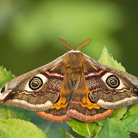 1. Emperor Moth - Billy Evans