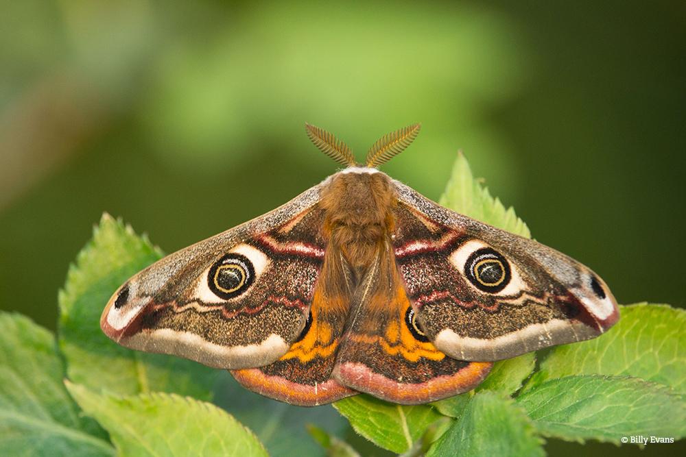 Emperor Moth BillyEvans