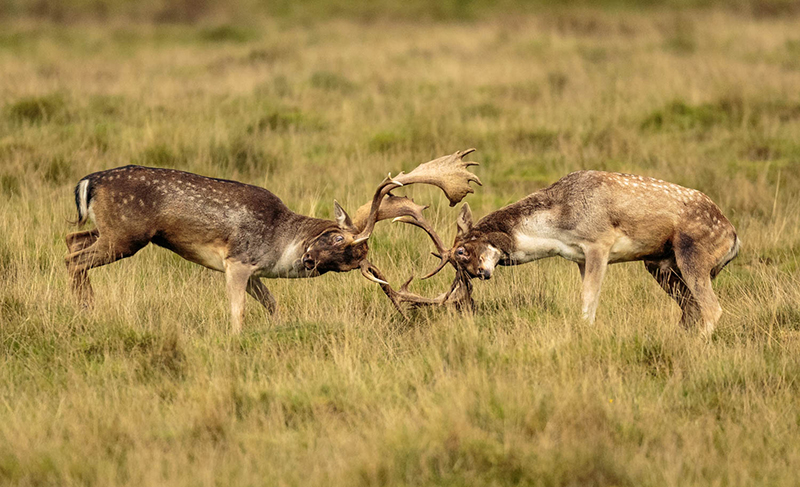 Fallow deer rutting 6843