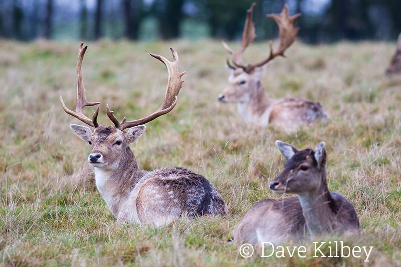 Fallow deer©Dave KilbeySussex Wildlife Trust
