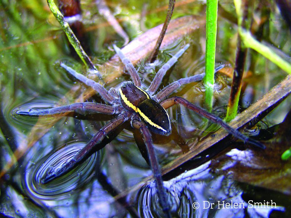 Fen raft spider©Dr Helen SmithSussex Wildlife Trust