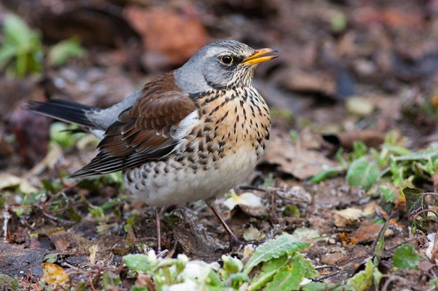 Winter Thrushes at Woods Mill - Henfield (18/12/2019)