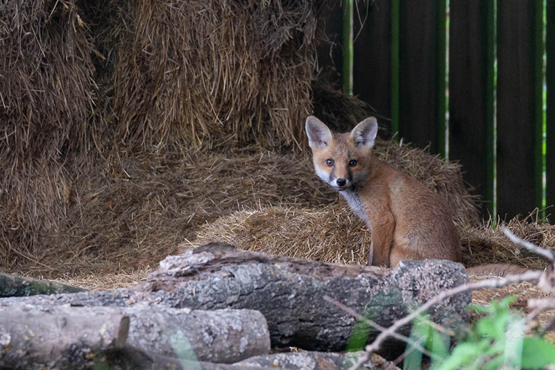 Fox cub 3138