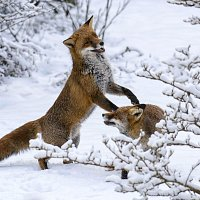 4. Foxes in the Snow - Karen Diton
