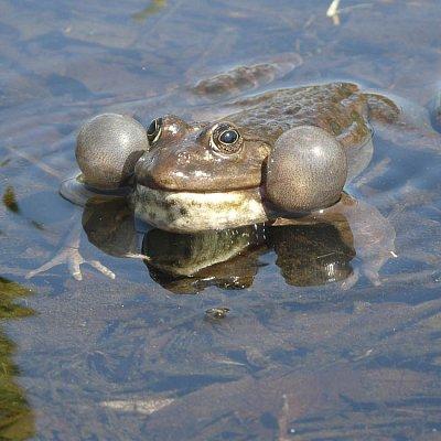 marsh frog calling