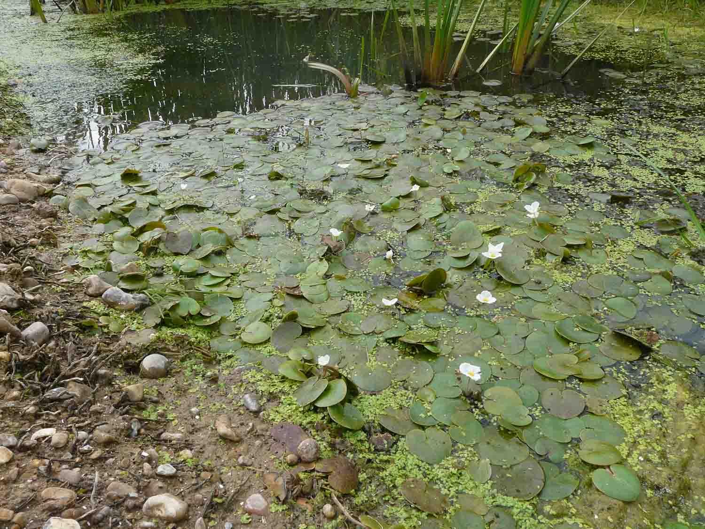 Frogbit aug 1160361