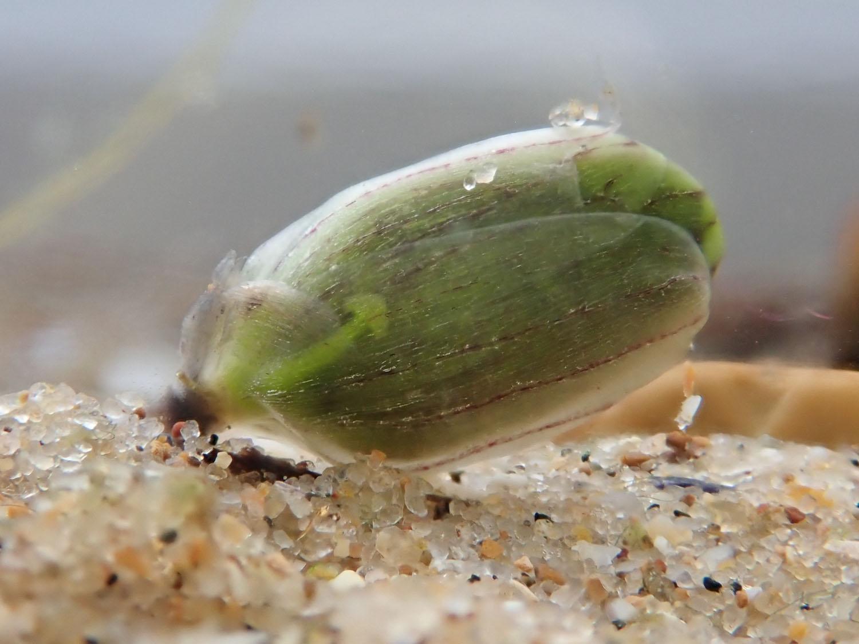 Frogbit feb 2223515