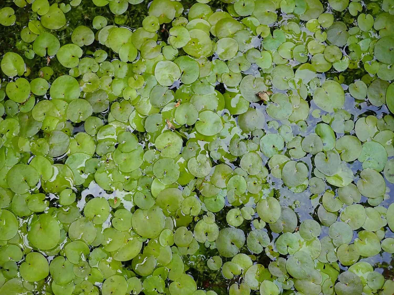 Frogbit leaves may 5261728