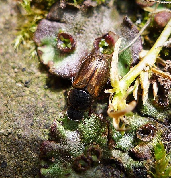 Gail Hampshire Melinopterus (Aphodius) prodromus   Flickr   gailhampshire