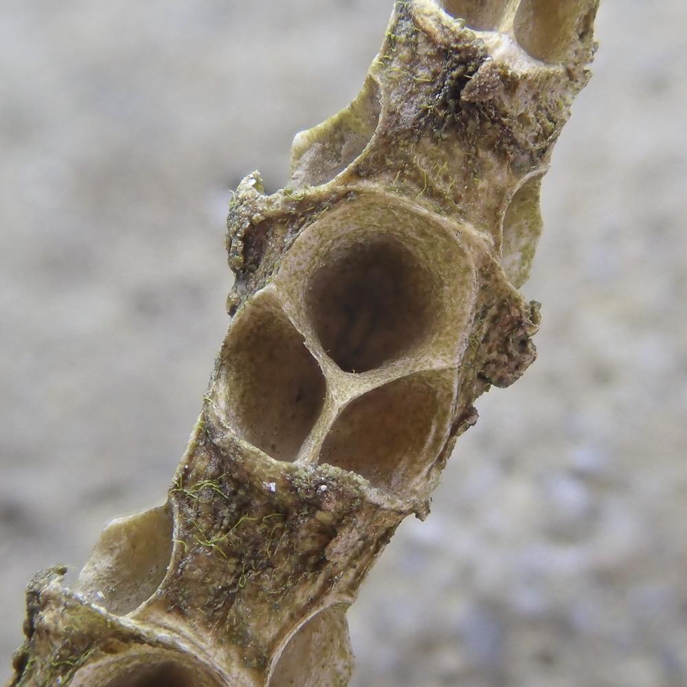 Glassworts