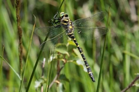 Golden ringed dragonfly Alan Martin
