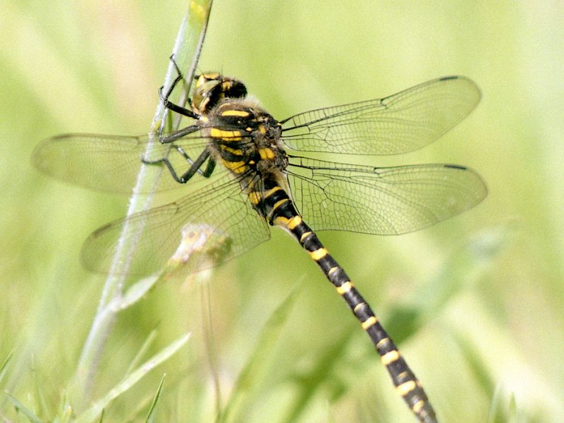 Heathland Dragonflies at Stedham and Iping Commons