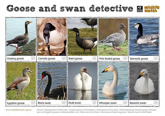 GooseSwanSpotter