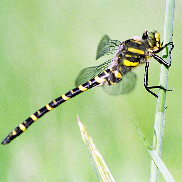 golden-ringed dragonfly / Alan Price