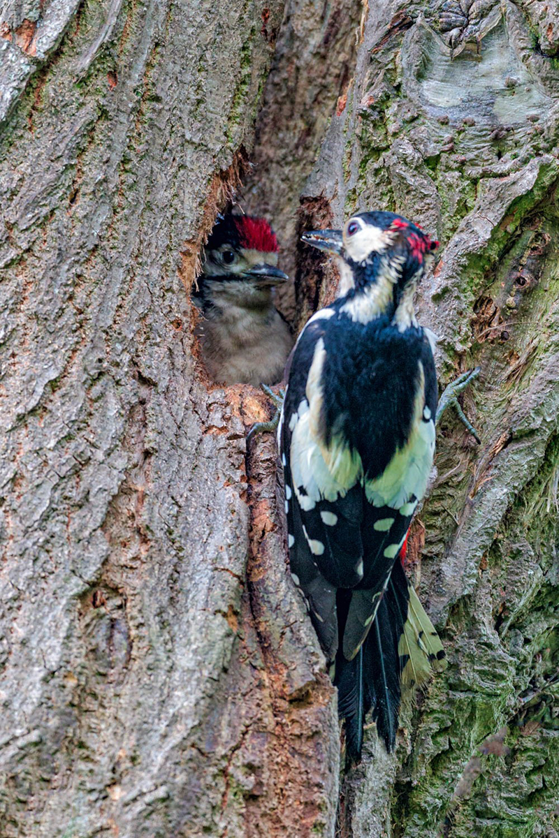 Great spotted woodpecker taken at Ashington