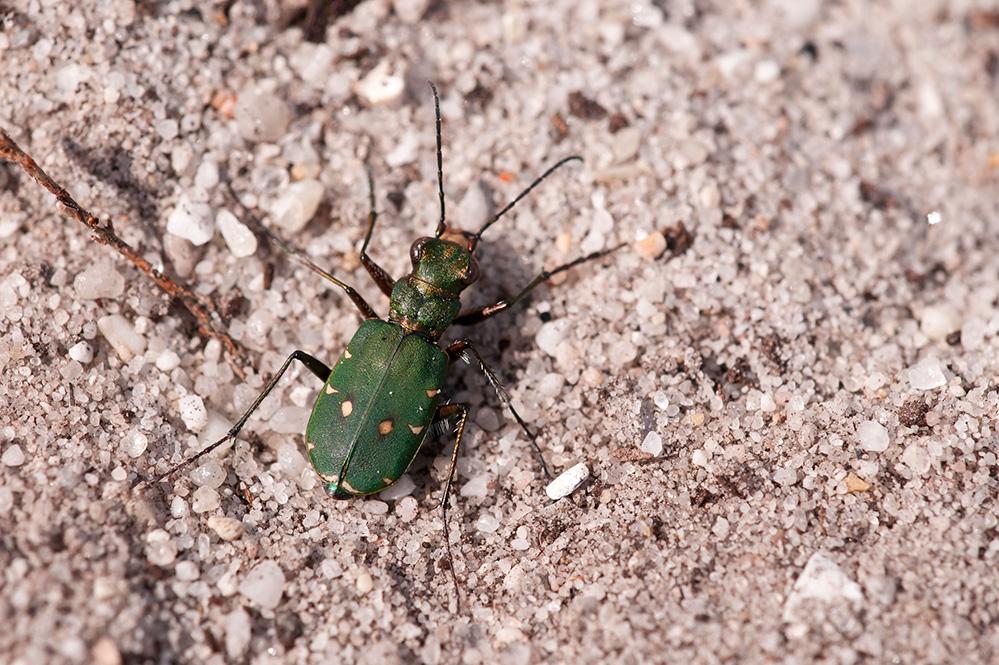 Green tiger beetle (c) Ross Hoddinott2020VISION